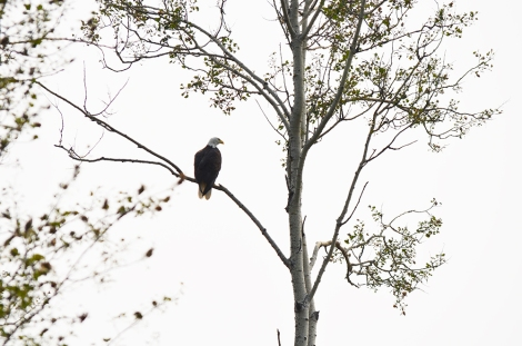 Photo of bald eagle on the shores of Gift Lake